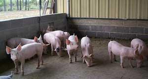 Crescatorii de animale trebuie sa respecte normele sanitar-veterinare