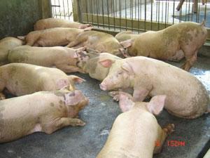 Din cauza pestei porcine, România nu poate exporta carne