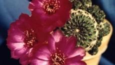 Sulcorebutia rauschii are rădăcini foarte sensibile