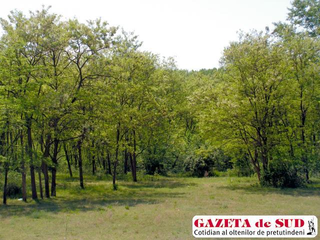 Pădurea de salcâmi din apropierea comunei Hinova