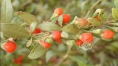 Cătina, o plantă bogată în vitamine