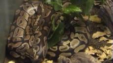 Pitonul regal alături de şerpii de grâu americani sau coralii falşi sunt cei mai potriviţi pentru a fi ţinuţi în casă ca animale de companie