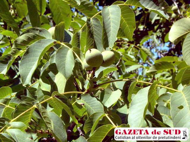 Frunzele de nuc se culeg în luna iunie