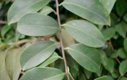 Embelia ribes, o plantă care ţine paraziţii la distanţă