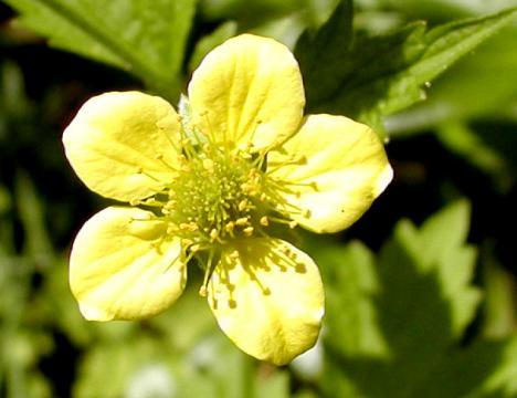 O plantă medicinală cu multe beneficii, care poate fi procurată foarte uşor