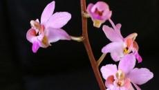 Florile de Doritis pot fi albe, roşii, roz sau lila