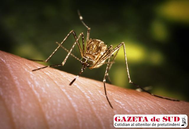 Virusul West-Nile se transmite prin înţepătura de ţânţar