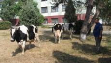 Vacile staţiunii pot concura la orice expoziţie din lume