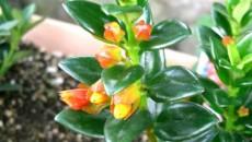 Florile de Nematanthus au o formă particulară, asemănătoare unor peştişori aurii