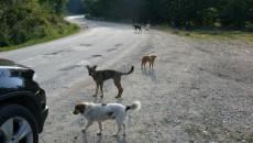 Câinii au invadat  DN 67D