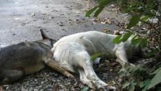 Pentru că autorităţile locale au dat greş în gestionarea problemei câinilor comunitari, craiovenii încearcă să scape singuri de ei, otrăvindu-i