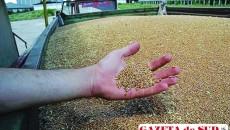"""Firma craioveană poate să-şi recupereze oricând grâul """"indisponibilizat"""" la Arad"""