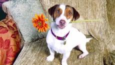 Jack Russell Terrier este un câine jucăuş
