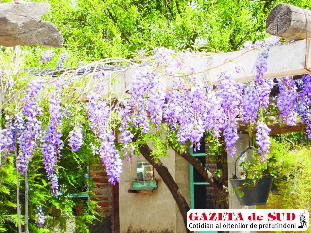 Glicina planta cu flori ca de salc m gazeta de sud for Glicina planta