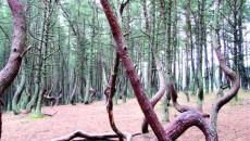 Trunchiurile copacilor din Kurshskaia Kosà par să danseze
