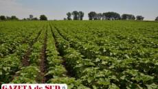 Toate terenurile agricole din Cioroiaşi sunt cultivate. Pe o bună parte dintre ele este floarea-soarelui
