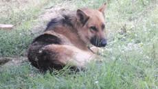 Câinele-lup este unul dintre câinii aflați în acea zonă