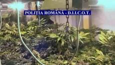 Ofițerii antidrog au descoperit 14 culturi de canabis în Dolj, Teleorman și București