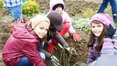 """Elevii clasei a V-a de la Colegiul Național """"Frații Buzești"""" din Craiova plantează cu mult entuziasm trandafiri în Grădina Botanică"""