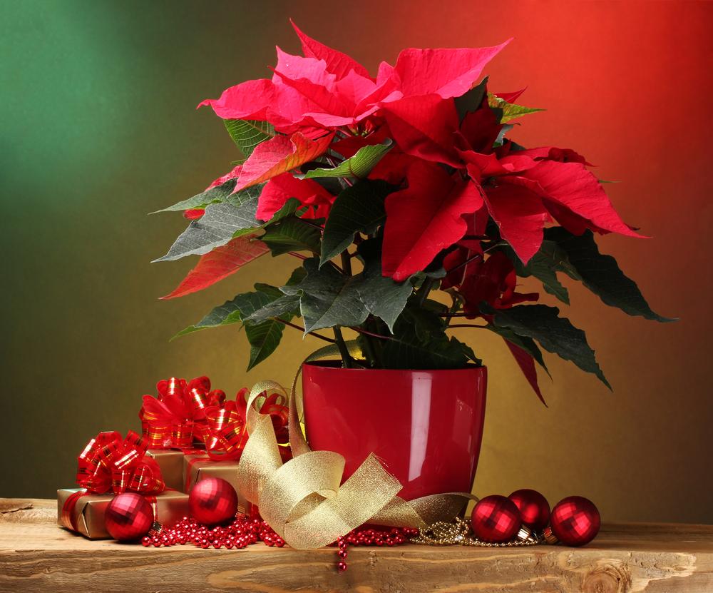 """Poinsettia, floarea denumită popular """"Crăciuniţă"""" (Foto: pinterest.com)"""