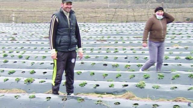 S-au întors acasă ca să cultive căpșuni olandeze (Foto: GdS)