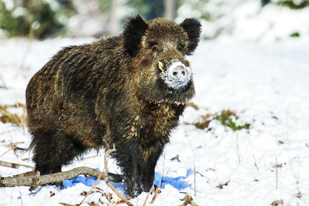 Mistreţii pot înlocui porcul pe masa de Crăciun (Foto: Eugen Măruţă)