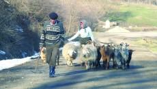 Oamenii aceștia din Belcin își duc zilnic caprele la adăpat, la pârâul de la poalele dealului (Foto: Traian Mitrache)