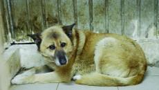 Câinele adoptat de Cristian Anton a făcut, până acum, cale întoarsă de trei ori la adăpostul canin. Conducerea Salubrității a explicat că el a fost găsit de hingheri de trei ori în aceeași zonă a pieței de la Ciupercă și că acesta este doar unul dintre cazurile de abandon din ultima perioadă. (Foto: GdS)