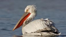 Pelican din Rezervaţia Naturală Srebarna (Foto: srebarnabirding.com)