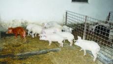 Ferma de porci din satul Slăvuța (FOTO: Claudiu Tudor)