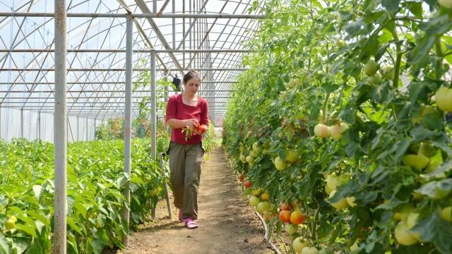 Familia Dumitrescu din Țuglui muncește de dimineața până seara în solar. De anul acesta, fermierii ca ei pot să acceseze  fonduri de până la 50.000 de euro, dacă îndeplinesc anumite condiții. (FOTO: arhiva GdS)