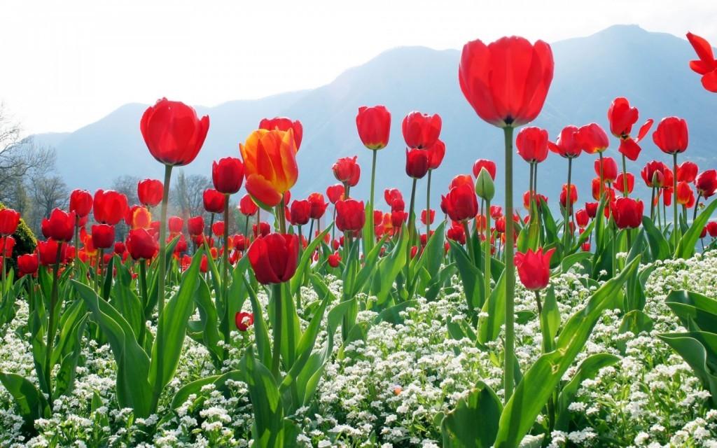 Lalelele roșii au fost alese drept simbol internațional al luptei împotriva bolii Parkinson (Foto: hdwallpaper.ro)
