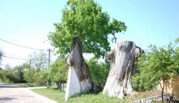 Doi dintre stejarii seculari care străjuiesc drumul judeţean (FOTO: Claudiu Tudor)