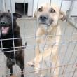 """Eutanasierea câinilor de la adăpostul Breasta a reînceput pe 28 aprilie. În câteva zile, 141 de câini au fost eutanasiați,  iar de la respingerea cererii Vier Pfoten de anulare a normelor legii """"Ionuț"""" au fost adoptați aproximativ 300 de câini. (FOTO: Claudiu Tudor)"""