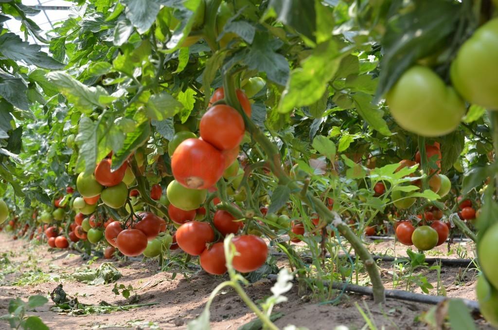 """Mai mulţi fermieri ar fi putut primi ajutor prin programul """"Tomata"""""""