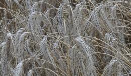 După ce se treieră grâul, iar agricultorii merg să ridice arenda, ei trebuie să plătească impozit la stat și contribuție la sănătate