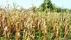 Culturile de porumb sunt afectate de secetă (Foto: Eugen Măruţă)