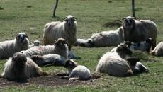 Fermierii beneficiază de subvenţii pentru creşterea ovinelor