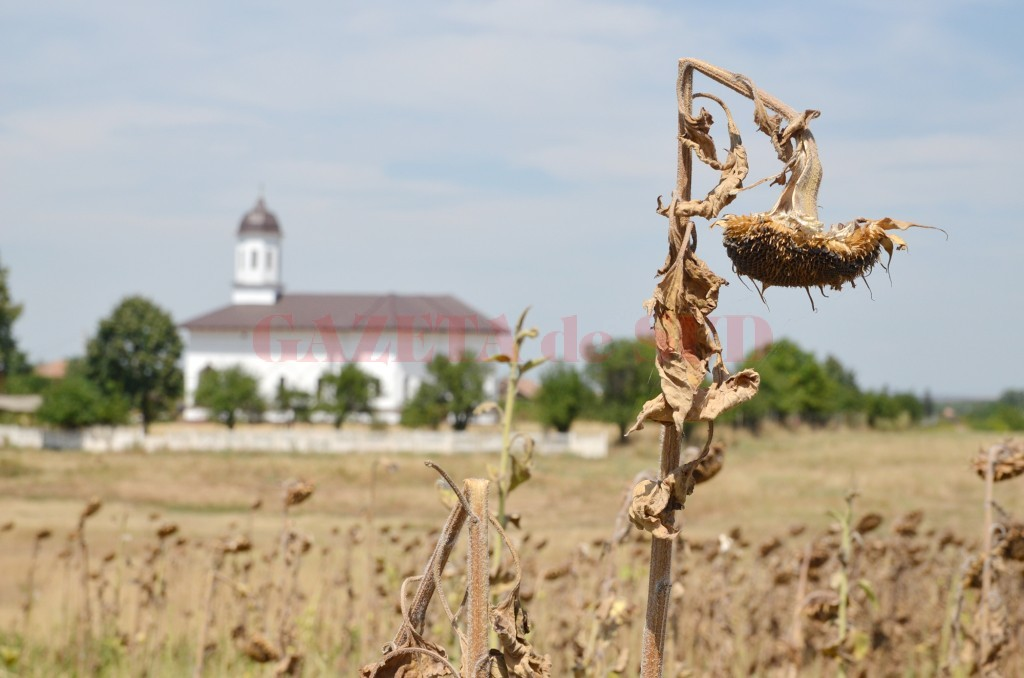 Culturile de floarea soarelui, grav afectate de secetă (Foto: Lucian Anghel)