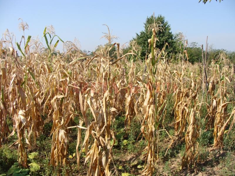 Porumbul, grav afectat de secetă