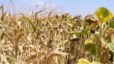 Culturile de porumb și floarea-soarelui, compromise de secetă