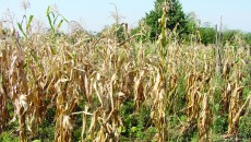 Peste 5.000 de hectare de culturi de porumb au fost afectate de secetă (Foto: Eugen Măruţă)