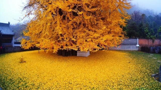 copac frunze aur