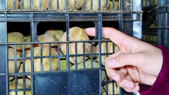 Cartofii au fost puși la încolțit, ca să poată fi cultivați când vremea o va permite (Foto: Claudiu Tudor)