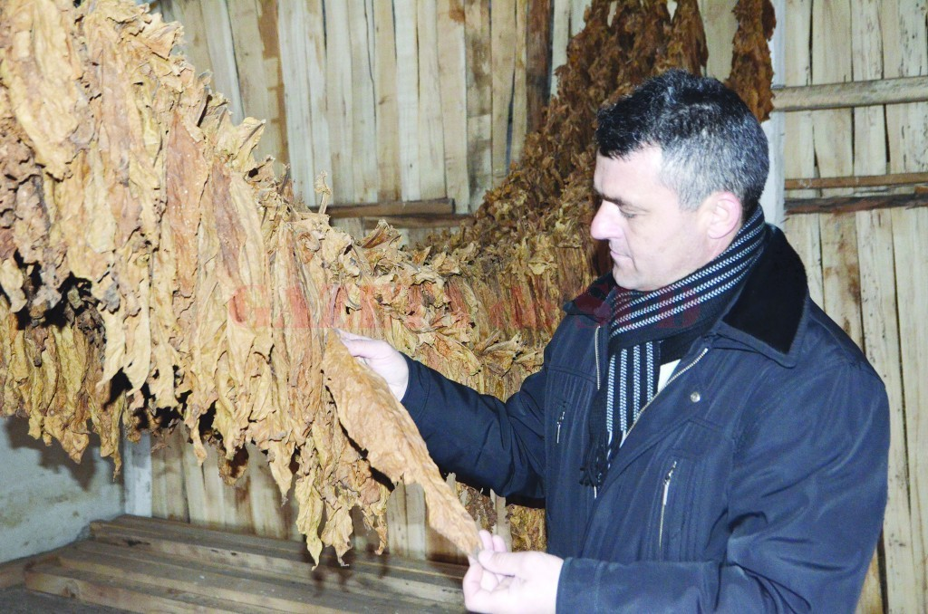 Cultivarea tutunului începe să recâștige teren în Mârșani (Foto: Claudiu Tudor)