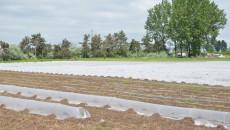 Lubenițele la tunel, metoda la care recurg agricultorii din Dăbuleni pentru a obține o producție bună și a ieși cât mai repede pe piață (Foto: Claudiu Tudor)
