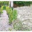 Grindina a pus la pământ culturile din Oltenia  şi a lăsat viile fără rod