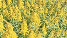 În ultimii ani a crescut numărul persoanelor alergice la polenul de ambrozie