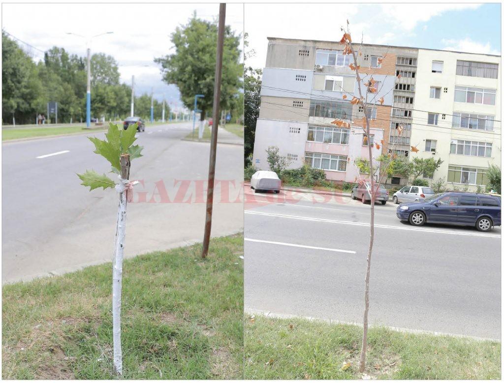 Unii dintre copacii din speciile frasin, stejar roșu și platan plantați anul trecut pe străzile Craiovei au fost rupți, iar alții s-au uscat (FOTO: Claudiu Tudor)