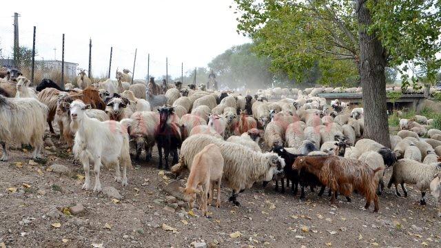 Pe raza comunei Oprişor sunt 10.000 de oi şi 2.000 de capre (Foto: Bogdan Grosu)
